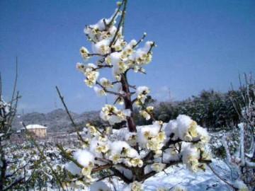白梅も暖かそうな綿が?