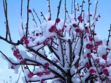 見事に咲いた紅梅に白い綿がかけられた?