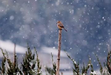 雪の中のモズ