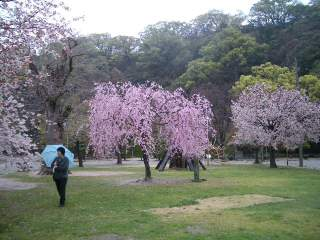 桜は満開、人はガラガラ