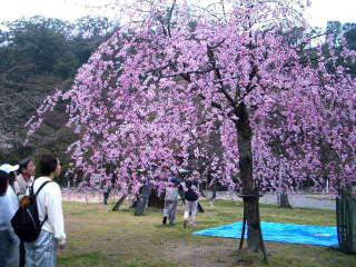 枝垂桜は満開