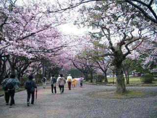 大半の桜は5分咲き程度