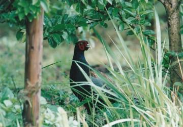 日本の国鳥、キジ